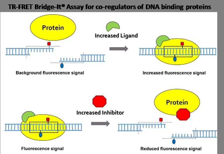TR-FRET-Bridge-It-assay-for-co-regulators-of-DNA-binding-proteins